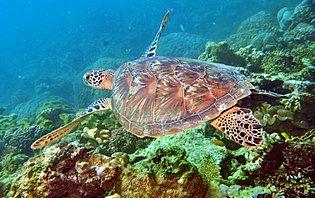 Tortue dans la grande barrière de corail