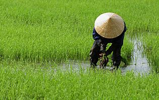 Découvrez les rizières du Vietnam