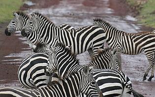 On retrouve à Ngorongoro une faune sauvage très riche et diverse!