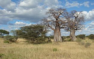 Les Baobabs, rare dans cette région!