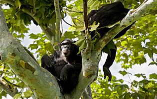 Mahale, le paradis des singes en Tanzanie