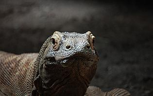 Le dragon de Komodo, dernier survivant de l'ère préhistorique !