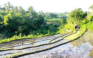 Les rizières en terrasse de Bali, un paysage incontournable de l'Indonésie !