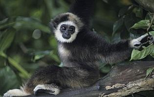 Un gibbon au Laos