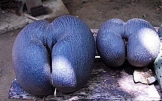 Les cocos fesses