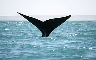En Afrique du sud, on fête la baleine