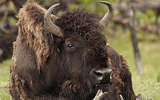 Réserve de bisons, Slovaquie