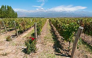 Un vin de caractère au pied des Andes !