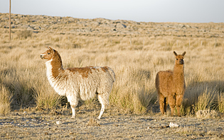 Croisez des Lamas dans le Nord-Ouest