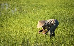 Dans une rizière