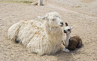 Caravanas de Llamas, une belle expérience dans le Nord Ouest argentin !