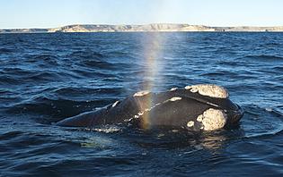 Approchez de près les baleines en Patagonie Atlantique !