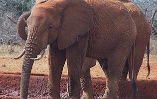 Les fameux éléphants d'Afrique comme vous ne les avez jamais vus !