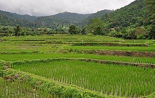 Des rizières à perte de vue