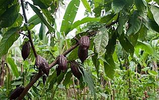 Plantation de cacao dans les environs d'Ubud