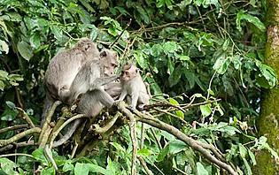 Famille de singes à Tabanan