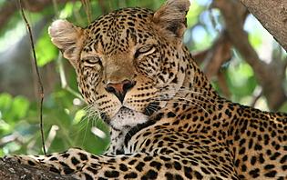 Avec un peu de chance vous apercevrez un magnifique léopard