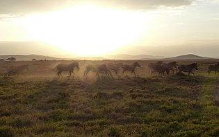 La migration concerne les troupeaux de gnous, de zèbres et de gazelles
