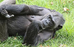 Jane Goodall consacra une grande partie de sa vie aux chimpanzés