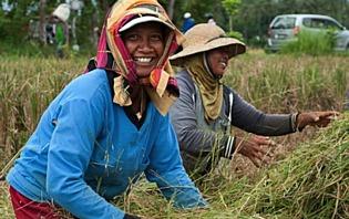 Paysanne dans une rizière à Lovina