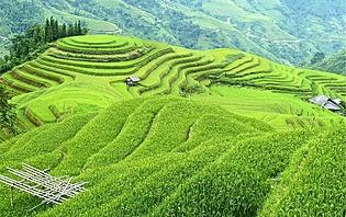 Les vertes rizières vietnamiennes