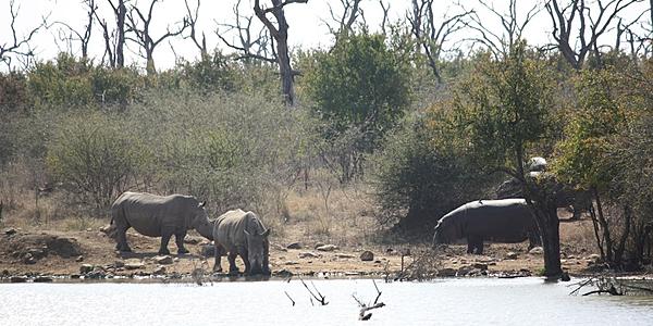 Rhino et hippo