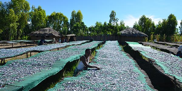 Une femme prépare les usipas pour sécher au soleil