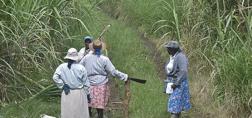 Femmes dans une plantation de canne à sucre