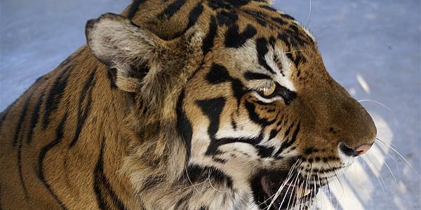 Tigre au Cambodge