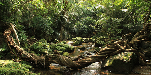 Jungle on Iriomote Island, the Yaeyama Islands