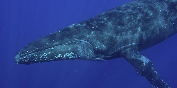 Baleine à bosse dans les eaux du Pacifique