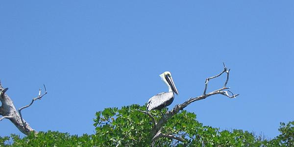 Pélican dans la réserve de Sian Ka'an