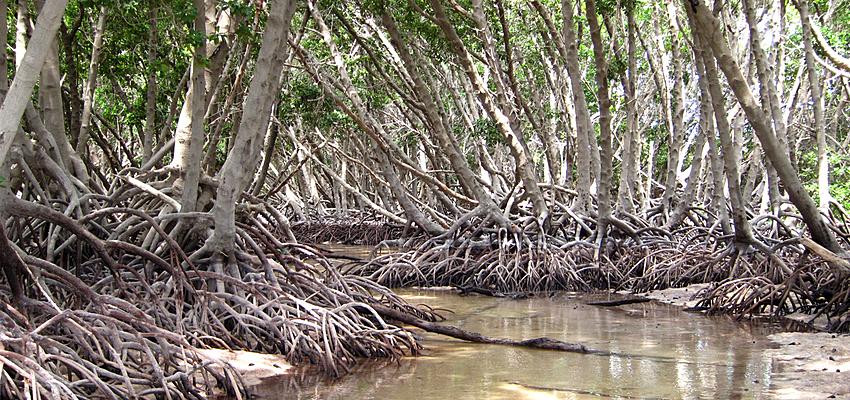Mangrove de Godoria