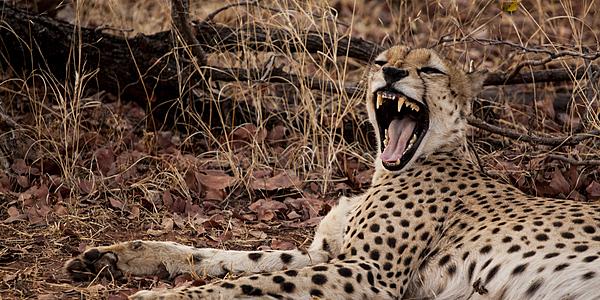 Le bâillement du guépard, parc national Matusadona