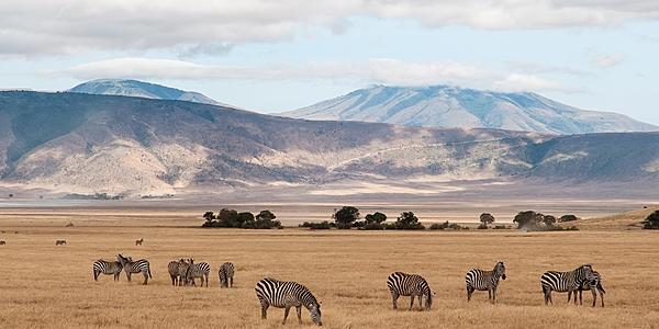 Manada de cebras en el Ngorongoro