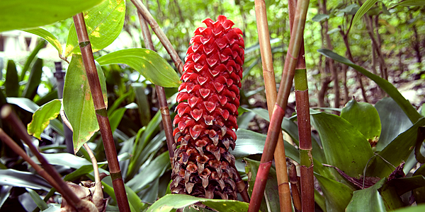 Superbe flore d'Hawaï