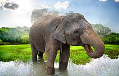 Jusqu\'à la côte Est sur la piste des éléphants
