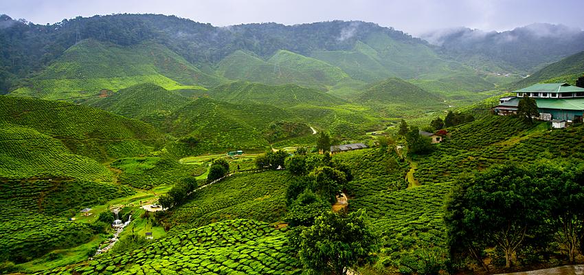 Piantagione di tè, Darjeeling, India