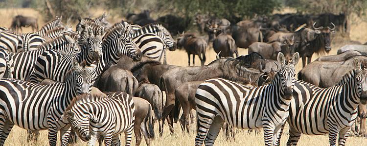 Safari grande migrazione