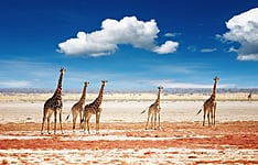 1, 2, 3 girafes ! Recensement de la faune sauvage