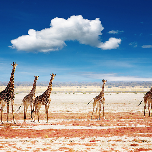 1, 2, 3 girafes ! Recensement de la faune sauvage - Windhoek -