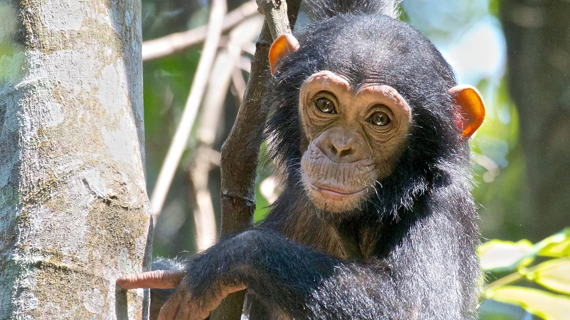 Extension au sanctuaire des chimpanzés à Mahalé