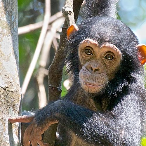 Extension sanctuaire des chimpanzés à Mahalé - Arusha -