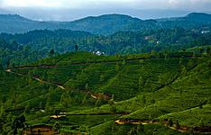 Merveilles au pays du thé