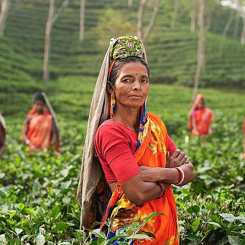 Darjeeling, avec les producteurs de thé -