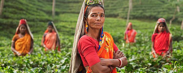Darjeeling, avec les producteurs de thé