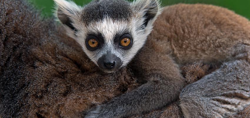 Lemure, Parco Nazionale di Ranomafana