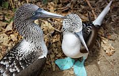 Ornithologie Néo-tropicale d'Ouest en Est