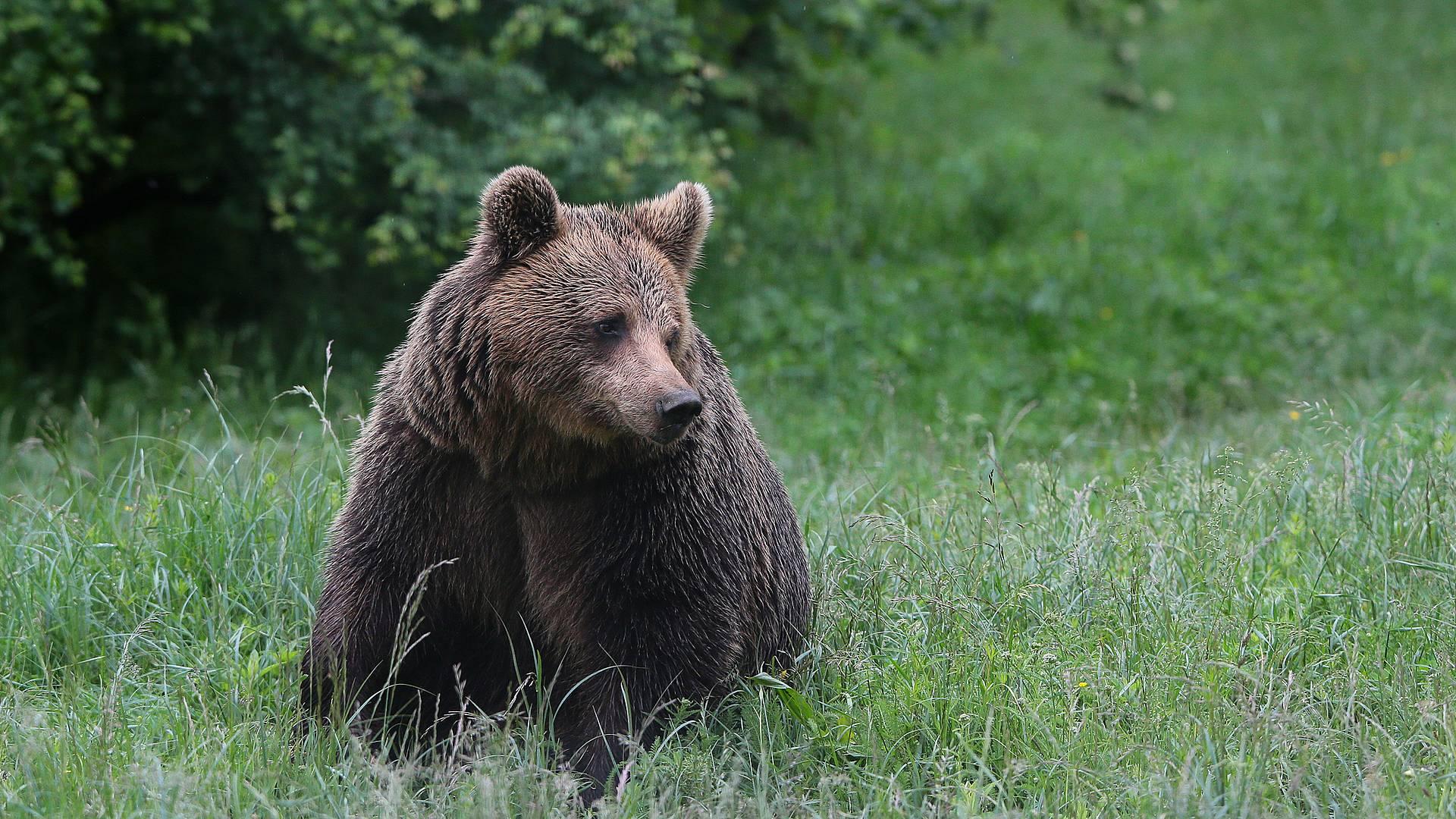 Ours et vie sauvage des Carpates
