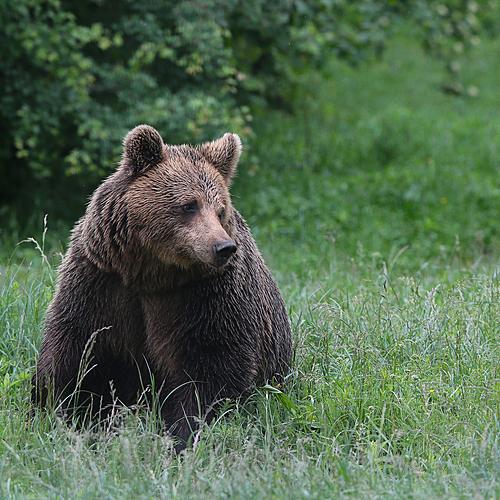 Observation des ours dans les Carpates -